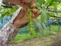 花が咲く前の作業でブドウの形づくり:摘房