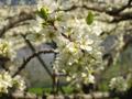 4月初旬開花