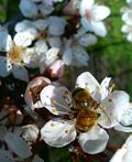 受粉の為のミツバチ
